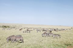 Beautiful Zebras and wildebeests at Masai Mara National Park, Kenya Royalty Free Stock Images