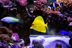 Beautiful zebrasoma Stock Photography