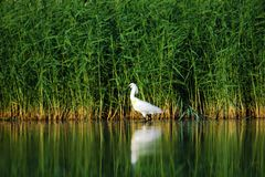 White spoonbill in the water. In the beautiful zhalong wetland, lake calm white spoonbill and reeds reflection is very wonderful royalty free stock photos