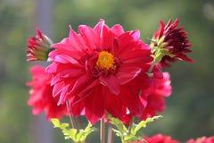 Beautiful zinia flower having cute bud royalty free stock photography