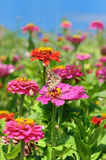 Beautiful zinnia Stock Photos