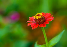 Beautiful Zinnia flower against motley background Stock Photos