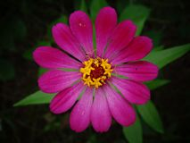 Beautiful zinnia flower closeup image royalty free stock images