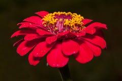 Beautiful zinnia flower on a dark background. Royalty Free Stock Photography