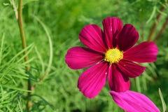 Beautiful zinnia flower. Stock Photos