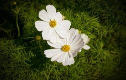 Beautiful zinnia flower. Royalty Free Stock Photo