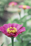 Beautiful zinnia flower on green background Stock Images