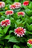 Beautiful zinnia. Stock Photos