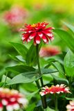 Beautiful zinnia. Royalty Free Stock Photography