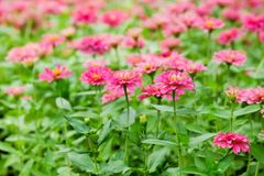 Beautiful zinnia. Royalty Free Stock Photo