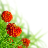 Beautiful zinnias and grass Royalty Free Stock Photos