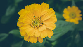 Beautiful Zinnias Stock Photography