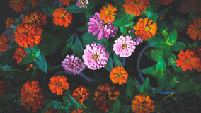 Beautiful Zinnias Stock Photo