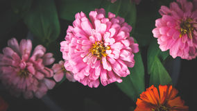 Beautiful Zinnias Royalty Free Stock Photos