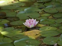 Beautiful Multi colorBeautiful lotus white color blossom in the water. BeautifulBeautiful lotus flower white color blossom in the water royalty free stock photography