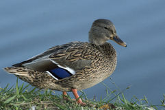 Beautifule female Mallard Duck showing off the blue feathers on Stock Image