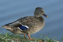 Beautifule Mallard żeńska kaczka pokazuje daleko błękit upierza dalej Obraz Stock