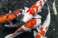 beautifulfish ψάρια φαντασίας/koi ΚΥΠΡΙΝΩΝ που κολυμπούν στη λίμνη, ιαπωνικά Στοκ φωτογραφία με δικαίωμα ελεύθερης χρήσης