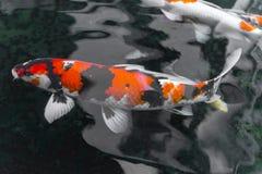 beautifulfish CARP fancy /  koi fish swimming in pond, japanese Royalty Free Stock Photography
