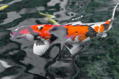 Japanese koi carp in a pond royalty free stock image for Golden ornamental pond fish crossword