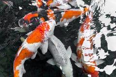 beautifulfish CARP fancy /  koi fish swimming in pond, japanese Royalty Free Stock Photos
