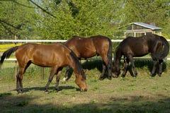 Beautifulhorse op een weide Stock Afbeeldingen