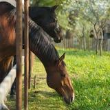 Beautifulhorse på en äng Royaltyfria Foton