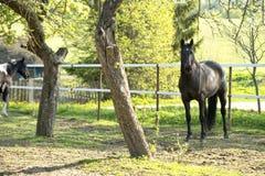 Beautifulhorse på en äng Fotografering för Bildbyråer