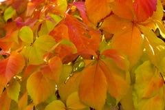 Beautifull上色了秋天叶子,红色,黄色,桔子,绿色 库存图片