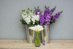 Beautifull花卉背景的混合 Mathiola白色紫色花春天、复活节或者从事园艺的概念 在温暖的花 库存图片