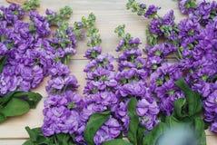 Beautifull花卉背景 Mathiola白色紫色花春天、复活节或者从事园艺的概念 平的位置 复制空间 花 库存图片
