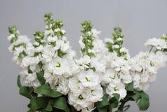 Beautifull花卉背景 Mathiola白花春天、复活节或者从事园艺的概念 在温暖的花 免版税库存照片