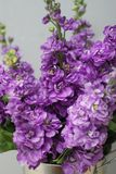 Beautifull花卉背景 Mathiola紫色花春天、复活节或者从事园艺的概念 灰色墙壁 在温暖的花 库存图片