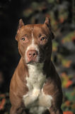 Brown Pit Bull Royalty Free Stock Photo