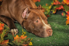 Brown Pit Bull Royalty Free Stock Photography