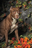 Brown Pit Bull Stock Photo