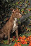 Brown Pit Bull Stock Images
