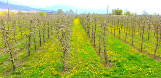 Beautifull apple orchard in april Stock Images