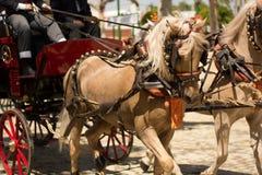 Beautifull arab horses Royalty Free Stock Image