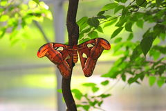 Beautifull Atlas butterfly - wings opened Stock Image