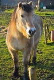 Beautifull belgian horse Stock Photos