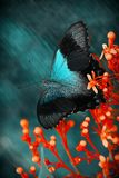 Beautifull Blue Butterfly stock photos
