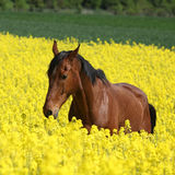 Beautifull brown horse running in yellow flowers Stock Image