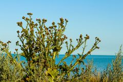 Beautifull bush of thistles against the black sea on the sunny day. Una bella pianta sulla vista del mare Stock Images