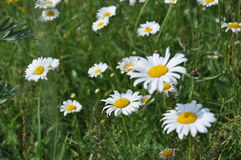 Beautifull camomile on the green grass Royalty Free Stock Images