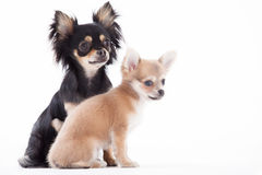 Beautifull chihuahua dogs. Happy dog photographed in the studio on a white background royalty free stock photo