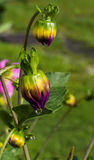 Beautifull Colored Flower Buds Stock Image