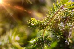 Beautifull coniferous tree on fresh natural forest background Stock Photos