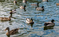 Ducks swimming in a pond. Beautifull ducks having a swim in a pond in Budapest city Royalty Free Stock Photography