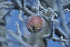 Beautifull and frozed apple. On a twig Royalty Free Stock Photos